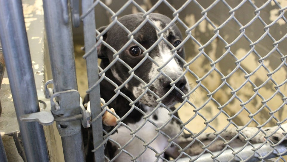 A dog looks out from a kennel at the Pineville Animal