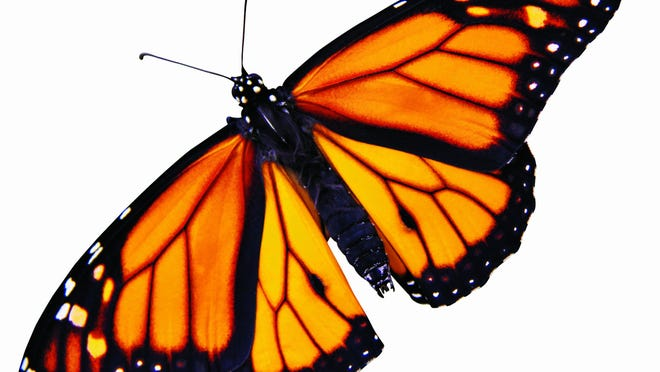 Monarch butterfly cutout on white background