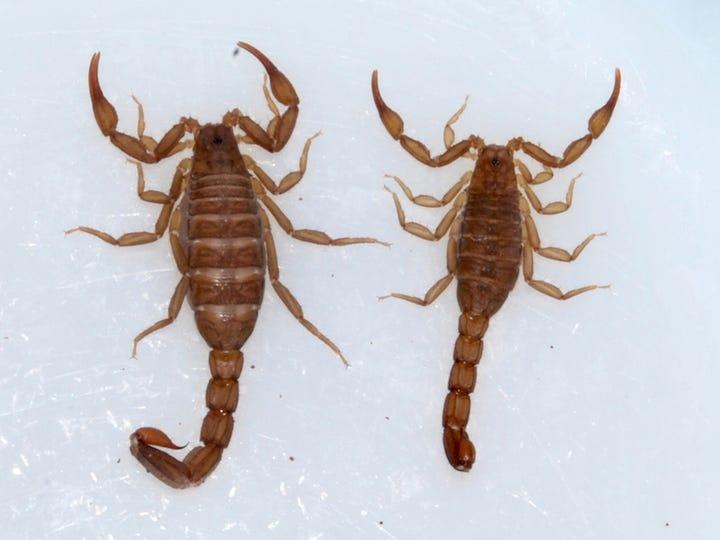 Two scorpions.