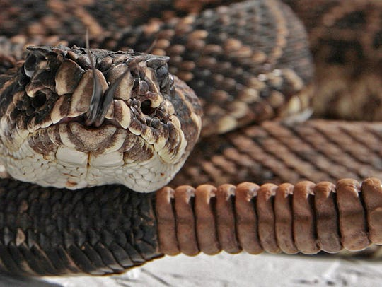 An eastern diamond back rattlesnake coils itself to