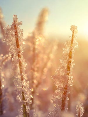 Frozen grass at sunrise close up