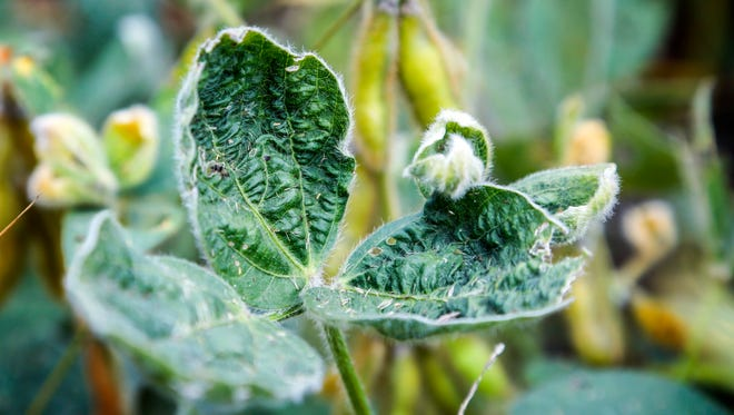 The leaves of some soybean plants curl up when sprayed with the herbicide dicamba.