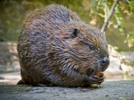636238017743366254-H-north-american-beaver.jpg