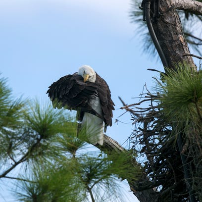 One of the eagles from the Southwest Florida Eagle