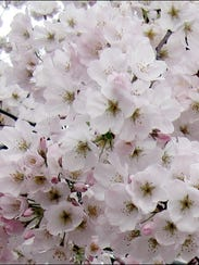 Close-up of Japanese Cherry Tree in Blossom along the Tidal Basin in Washington D.C. (2016 Photo by S. H. Smith)
