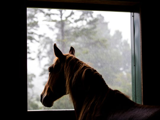 Daisy the horse watches the rain fall from her stall