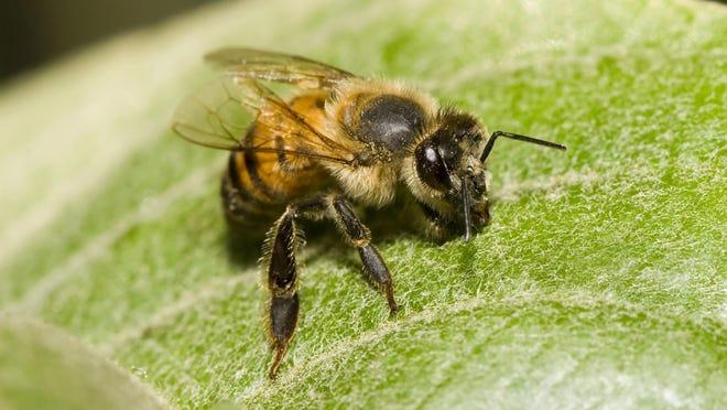 An Africanized Honey Bee.