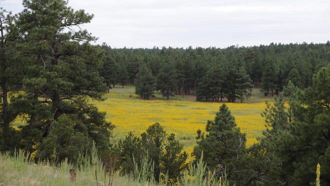 Field of sunflowers viewed from Walnut Meadows Trail.