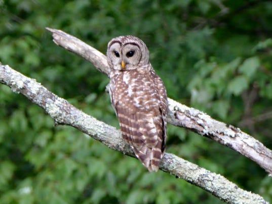 636048194996406204-LDN-DW-072416-Barred-owl.jpg