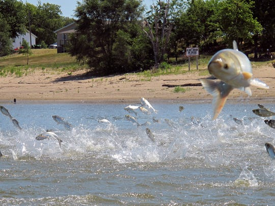 In this June 13, 2012 file photo, Asian carp, jolted