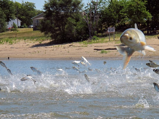 In this June 13, 2012 file photo, Asian carp, jolted by an electric current from a research boat, jump from the Illinois River near Havana, Ill. The U.S. Army Corps of Engineers is preparing to release a draft report expected out Monday, Aug. 7, 2017, on possible measures at a crucial site in Illinois that could prevent invasive Asian carp from reaching Lake Michigan.