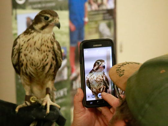 Malary, a female prairie falcon, gets a lot of attention during a visit by the Hawks Aloft organization on Saturday to the Farmington Museum at Gateway Park.