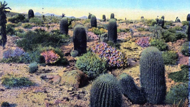 The Devil's Garden with a natural thicket of barrel cacti.