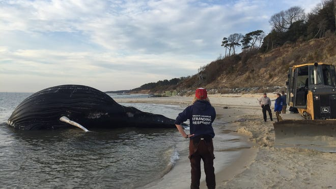 Sarah Mallett of the Virginia Aquarium Stranded Response Team looks on as officials try to pull a dead humpback whale from the water off Butlers Bluff beach in Cape Charles.