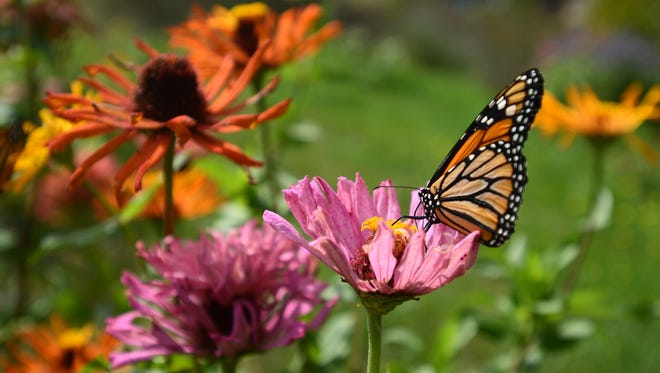 A monarch butterfly rests on a flower along the shore of Lake Huron in Fort Gratiot.