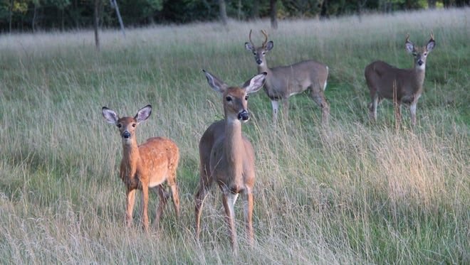 White-tailed deer move through a field in southeastern Wisconsin.