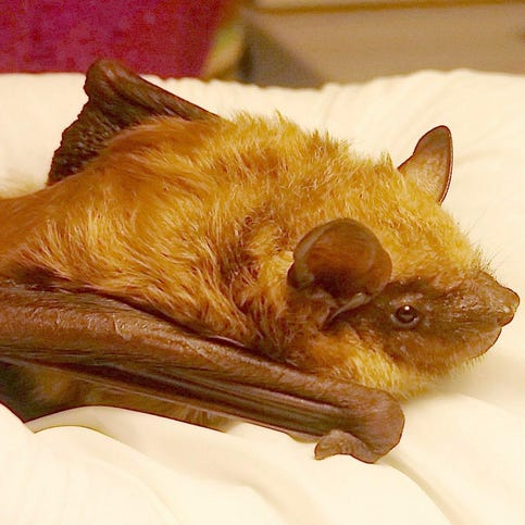 Chemung Valley Audubon Society to discuss 'Bats in Your Backyard'