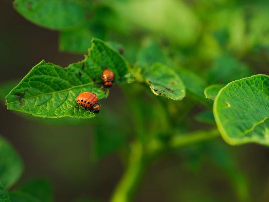 Successful IPM begins with correctly identifying the pest