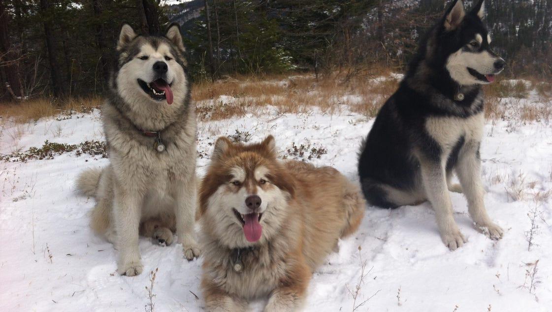 Pet malamute shot, killed by wolf hunter