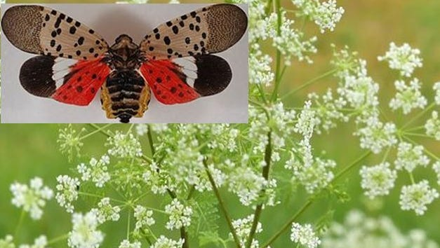 This edited photo shows poison hemlock and a spotted lanternfly.