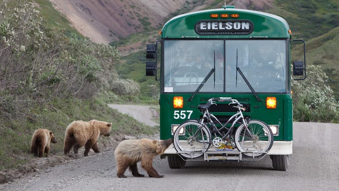 Denali National Park visitors are treated to a close-up view of wildlife as a grizzly bear cub stops to investigate  a shuttle bus.