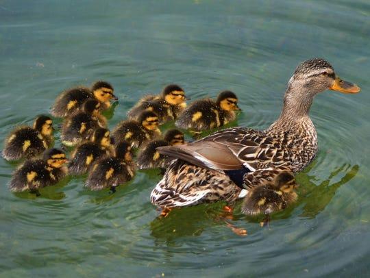A mallard hen leads her brood of ducklings.