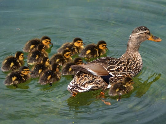 A mallard hen leads her brood of ducklings.
