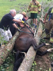 A horse, trapped by a fallen tree in Harding Township,