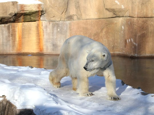 Snow Lily the Polar Bear goes for a stroll at the Milwaukee