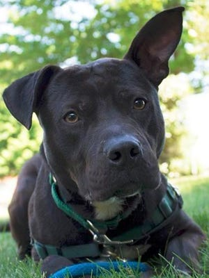 Robby, a young Staffordshire Terrier, who is awaiting his forever home at Sammy's Hope Animal Welfare and Adoption Center, is credited with rescuing abandoned cats and kittens over the weekend in Sayreville.