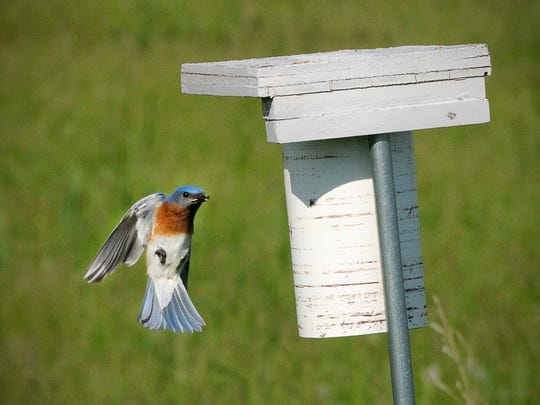 A bluebird flies into the nest with food June 4 near Lake Maria State Park<137,2014/06/18,LeClair/c Mitch1> Wednesday, June 4<137>. Scriven uses both PVC and Peterson bluebird houses.