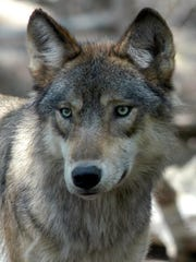 FILE- This July 16, 2004 file photo shows a gray wolf at the Wildlife Science Center in Forest Lake, Minn. (AP Photo/Dawn Villella, File)