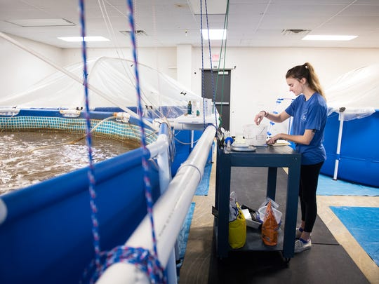 Erin Downing, an intern at Urban Seas Aquaculture, measures and weighs shrimp on Monday, December 4, 2017.