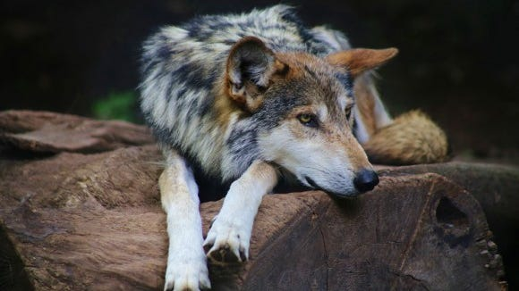 Mexican-Wolf-2014-John-Mattice