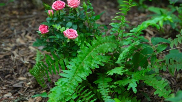 Ferns and Roses