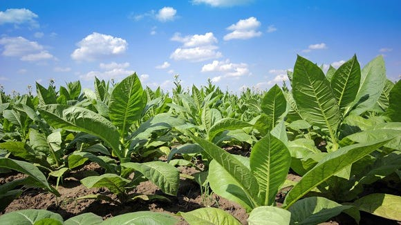 The researchers used a tobacco species as their model during research, but have already demonstrated the method works in grape, tomato and potato plants.