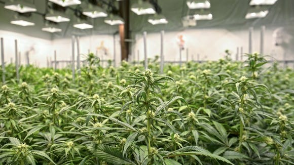 Marijuana plants growing under extensive lighting inside a greenhouse facility.