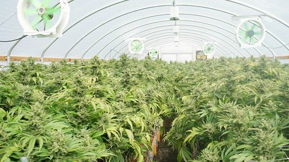 An indoor commercial cannabis grow farm, with marijuana plants in a greenhouse with electric fans blowing on them.