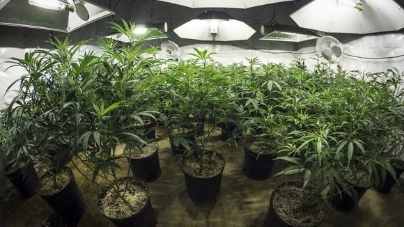 An indoor commercial cannabis grow facility using special lighting.