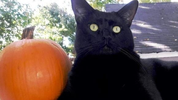 Snickers the cat poses with a Halloween pumpkin. Littleton health officials are weighing a decision on trick or treat, as coronavirus cases put the town into the state's red zone for risks.