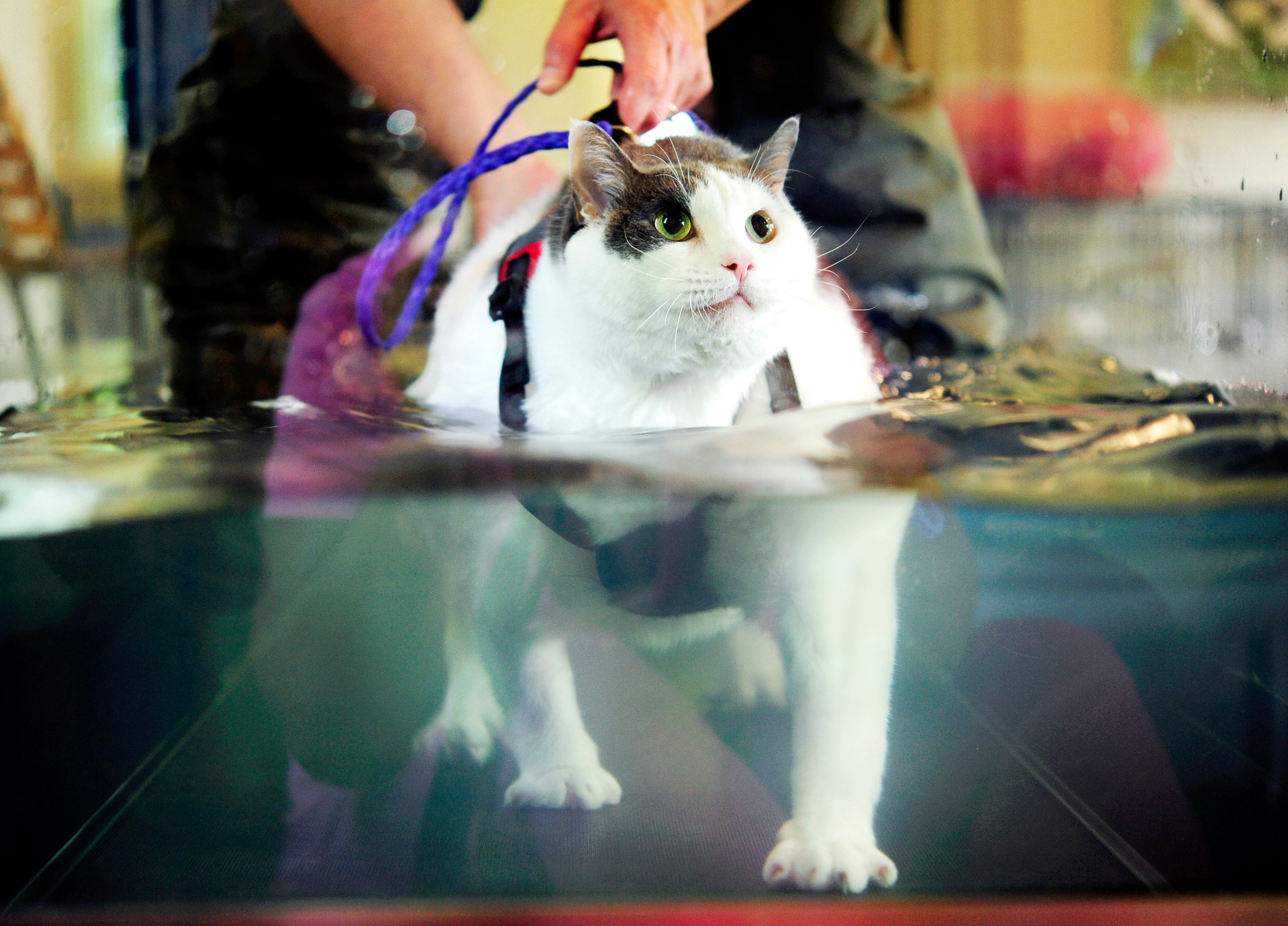 Fat cat slims down with water treadmill