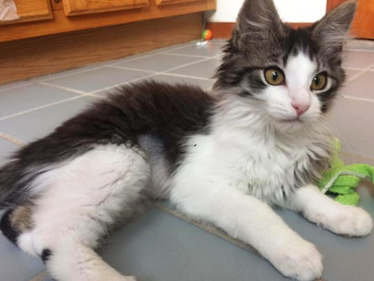 Pie is a kitten available for adoption at Kitsap Humane