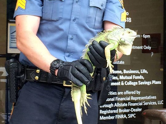 Sgt. Ed Kukalski holds a 2-foot iguana that he captured behind the Valley National Bank on Rochelle Avenue in Rochelle Park on July 29, 2015.