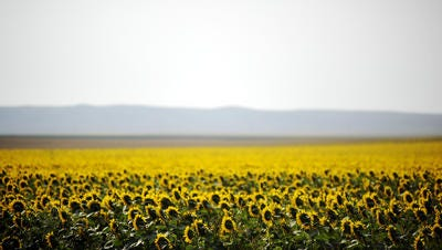 Sunflowers dropped in price in June