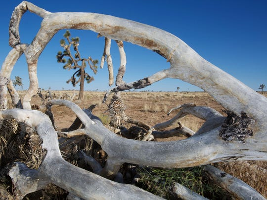 A dead Joshua tree frames another that has lost some