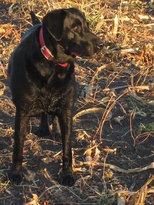 Steve Meurett's hunting partner Molly.