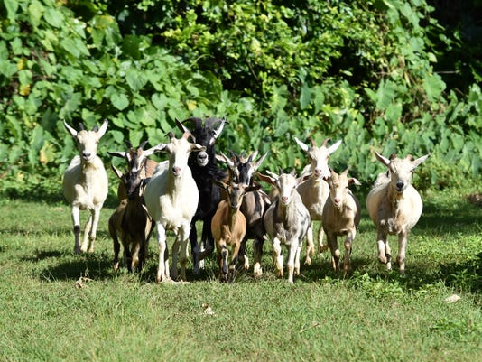636471683478801871-goat1.jpg