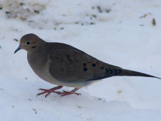 Mourning Doves Not Turtle Doves For Christmas In Utah