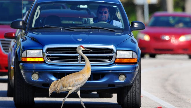 A Sandhill crane holds drivers hostage as they stop at a red light at the intersection of Nasa Blvd and Evans Rd in Melbourne.