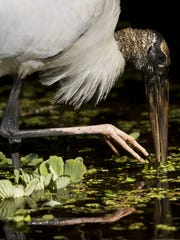 A wood stork feeds at Corkscrew Swamp Sanctuary in Collier County in March of 2013. Storks have only nested once at Corkscrew in the last 8 years, but the bird was downlisted from endangered to threatened by the federal government in June.